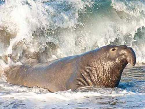 http://www.tepid.ru/images/elephant-seal7.jpg