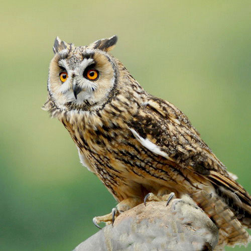 http://www.tepid.ru/images/long-eared-owl-6.jpg